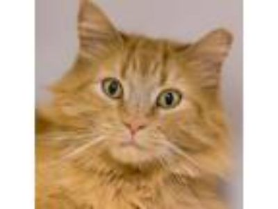Adopt Squash a Domestic Longhair / Mixed cat in Golden, CO (25330499)