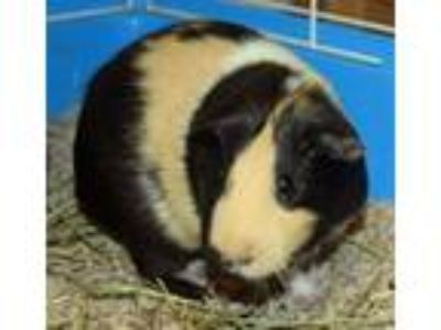 Adopt Chickweed a Black Guinea Pig / Mixed small animal in Everett
