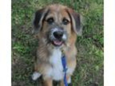 Adopt Dori-Foster Home Needed a Wirehaired Terrier