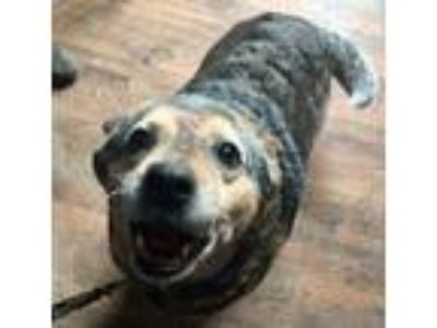 Adopt Bella Blue a Australian Cattle Dog / Blue Heeler