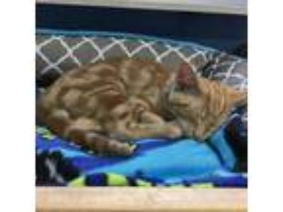 Adopt CHARLES a Orange or Red Tabby Domestic Shorthair / Mixed (short coat) cat
