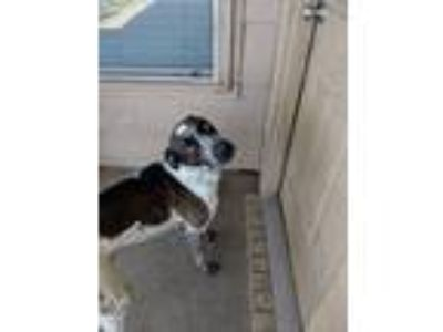 Adopt Rocky a White - with Brown or Chocolate Pointer / German Shorthaired