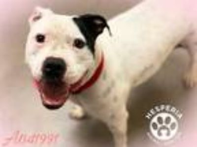 Adopt a White - with Black American Pit Bull Terrier / Mixed dog in Hesperia