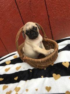 Pug PUPPY FOR SALE ADN-92832 - Pug Puppies