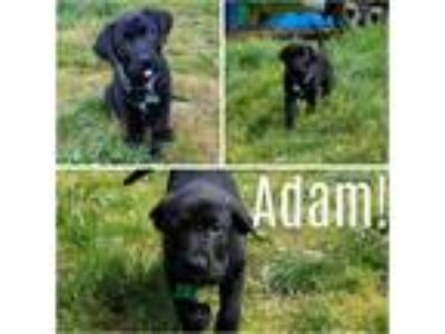 Adopt Adam a Black - with White Labrador Retriever / Bullmastiff / Mixed dog in