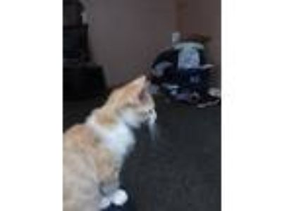 Adopt Cinammon a Orange or Red Domestic Shorthair / Mixed cat in Thomaston