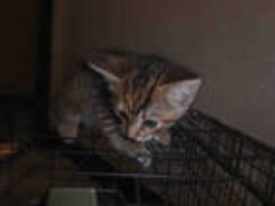 Adopt LIZ a Brown Tabby Domestic Shorthair / Mixed (short coat) cat in Los