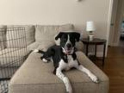 Adopt Ollie a Black - with White Labrador Retriever / Border Collie dog in