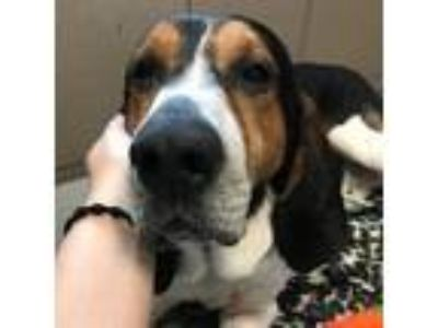 Adopt Major a Black Coonhound dog in Knoxville, TN (25597268)