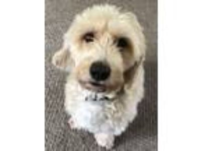 Adopt Oscar a Tan/Yellow/Fawn - with White Cocker Spaniel / Bichon Frise dog in