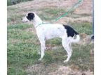 Adopt Mackie a White - with Black Pointer / Mixed dog in Cameron, MO (24011988)