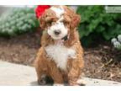 Cutie - Mini Poodle Female