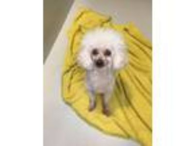 Adopt Ronny - In Foster in Rocky Mount, NC a Poodle