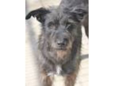Adopt Princess Crabb a Wirehaired Terrier, Wirehaired Pointing Griffon