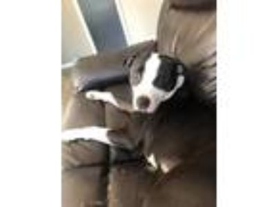 Adopt Belle a Terrier, American Staffordshire Terrier