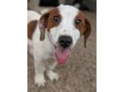 Adopt Jupiter a Dachshund / Mixed dog in Fort Lupton, CO (25923070)