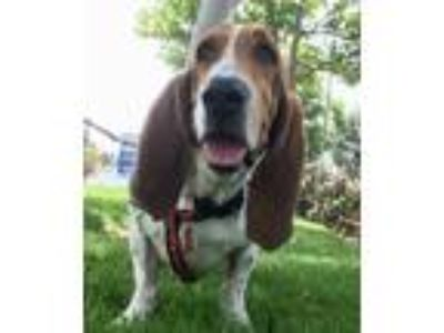 Adopt Cheyenne a Basset Hound / Mixed dog in Whittier, CA (25629090)