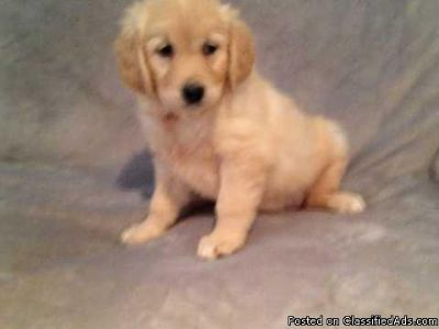 AKc Registered Golden Retriever Puppies FOR FREE TEXT OR CALL US AT 513-453