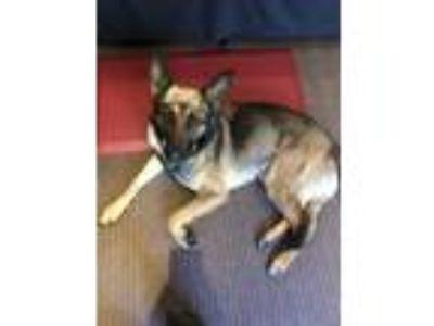 Adopt Calypso a Black - with Tan, Yellow or Fawn German Shepherd Dog / Mixed dog