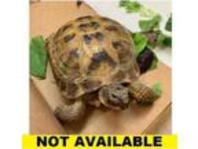 Adopt Torque a Turtle - Other / Turtle - Other / Mixed reptile, amphibian
