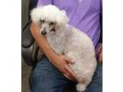 Adopt Rambo a Poodle (Standard) / Mixed dog in Duncan, OK (25872355)