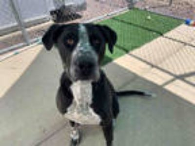 Adopt *KEN a Black - with White Labrador Retriever / Great Dane / Mixed dog in