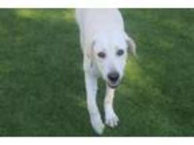 Adopt Johanna a Labrador Retriever, Mixed Breed