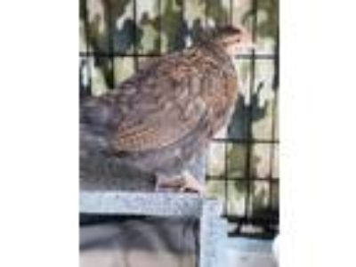 Adopt 41579441 a Brown Chicken / Chicken / Mixed bird in Carrollton