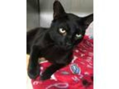 Adopt Charlie a All Black Domestic Shorthair / Domestic Shorthair / Mixed cat in