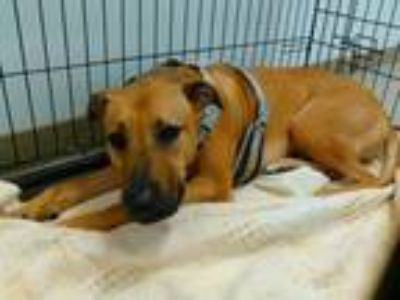 Adopt SCOOBY a German Shepherd Dog, Black Mouth Cur