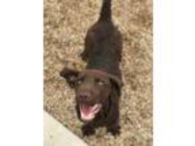 Adopt Chaos a Brown/Chocolate Labrador Retriever / Mixed dog in Belle Chasse