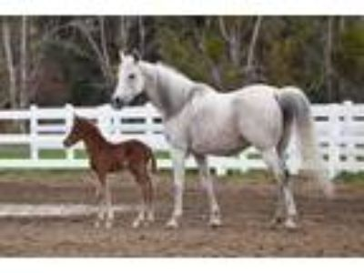 Proven youth and Amateur Show horse trail and broodmare