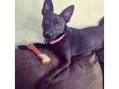 Adopt Penny a Black Shepherd (Unknown Type) / Labrador Retriever dog in Rancho