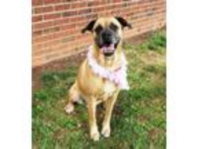 Adopt Nessy a Tan/Yellow/Fawn - with Black Boxer / Mixed dog in Lexington