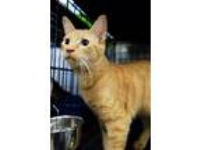 Adopt SWEETART a Domestic Short Hair