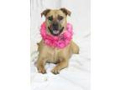 Adopt 41929861 a Tan/Yellow/Fawn Hound (Unknown Type) / Mixed dog in Greenville