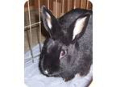 Adopt ODETTE a Black Satin / Mixed (short coat) rabbit in San Clemente