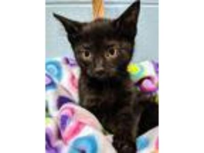 Adopt Clayton a All Black Domestic Shorthair / Domestic Shorthair / Mixed cat in