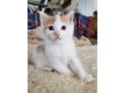 Adopt Blanche a Domestic Short Hair