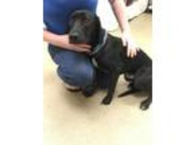 Adopt Oliver a Black Labrador Retriever / Mixed dog in Palm Coast, FL (25875228)