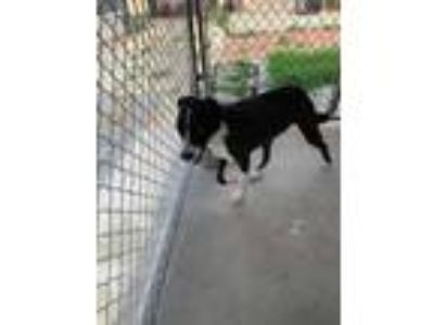 Adopt Tooter a Black Border Collie / Mixed dog in North Myrtle Beach