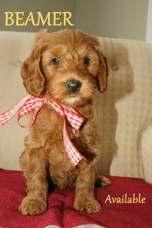 Australian Labradoodle PUPPY FOR SALE ADN-52021 - Australian Labradoodle  All Puppies Adopted