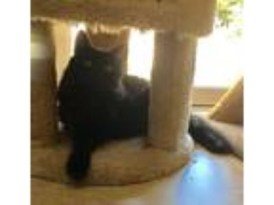 Adopt Miss Lily a Domestic Medium Hair, Maine Coon