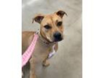 Adopt Jingles a Staffordshire Bull Terrier, Black Mouth Cur