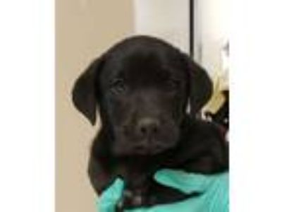 Adopt Trey a Labrador Retriever