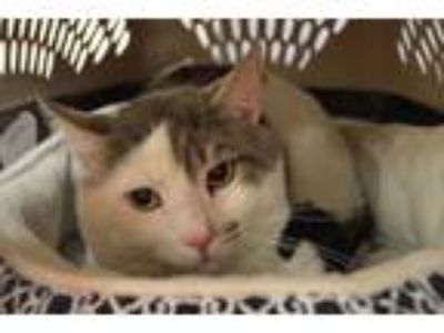 Adopt 58980 Manchas a White Domestic Shorthair / Domestic Shorthair / Mixed cat