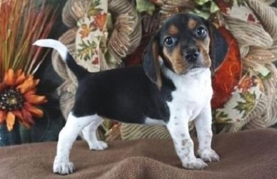 GIVING Beagle puppies ready