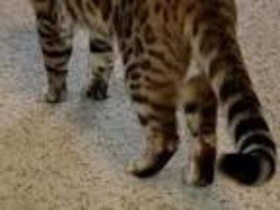Tica Bengal Kittens