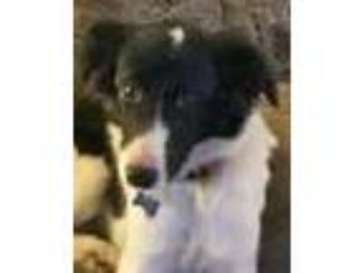Adopt Daisy a Black - with White Border Collie / Mixed dog in Minerva