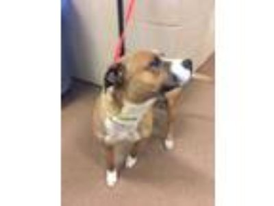 Adopt Mackenzie a Brown/Chocolate American Pit Bull Terrier / Boxer / Mixed dog
